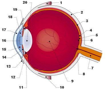 az emberi látás szerkezete